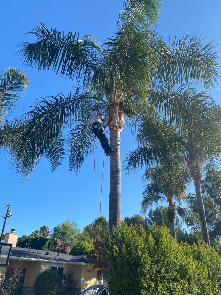 CASLR Palm Trimming- California Skyline Remodeling
