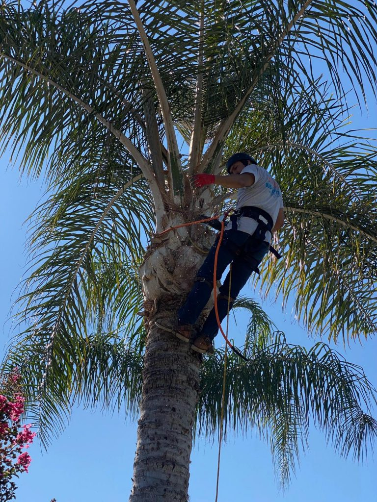 palm trimming in woodland hills- California Skyline Remodeling